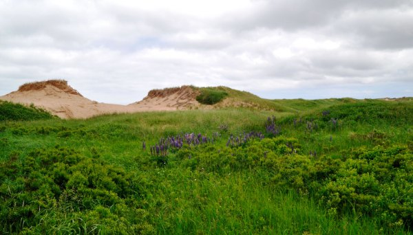 Lupid-dotted fields—a common Maritime sight—welcome visitors to Cavendish Beach